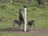 mufflontacka med lamm vrån Ahlamossensvilthägn