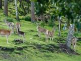 HjortBild med hjortar från Ahlamossen